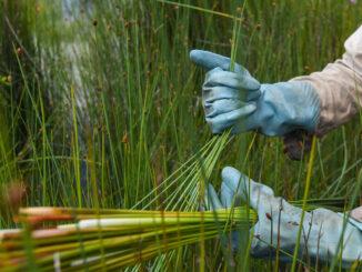 Mùa gặt cỏ bàng miền Tây