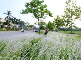 Đồng hoa cỏ lau bên đường Xô Viết Nghệ Tĩnh