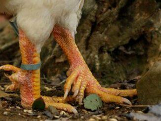 9-cockspur chicken