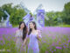 """Young people """"die tired"""" with lavender fields in the heart of Hanoi"""