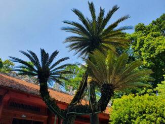cypress tree,phu tho vietnam,